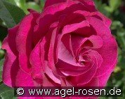 Belles Rives (Hybrid Tea)