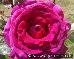 Big Purple (Hybrid Tea)