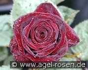 Black Baccara (Hybrid Tea)