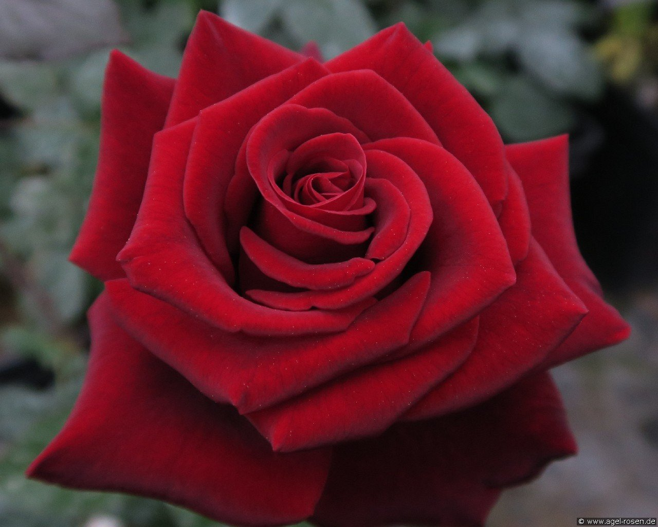 Black Magic (Hybrid Tea)