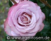 Blue Girl (Hybrid Tea)
