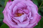 Blue River (Hybrid Tea)