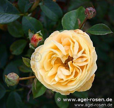 candlelight hybrid tea buy at agel rosen. Black Bedroom Furniture Sets. Home Design Ideas