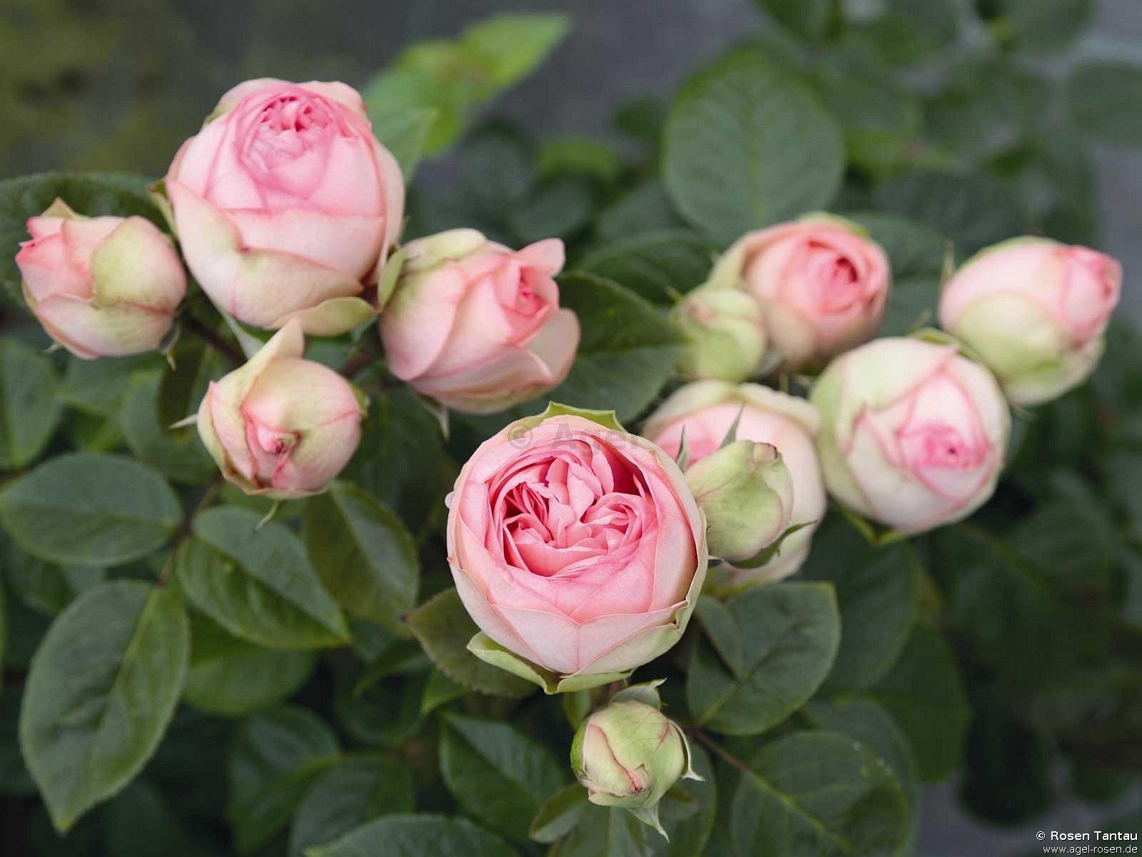 charming piano hybrid tea buy at agel rosen. Black Bedroom Furniture Sets. Home Design Ideas
