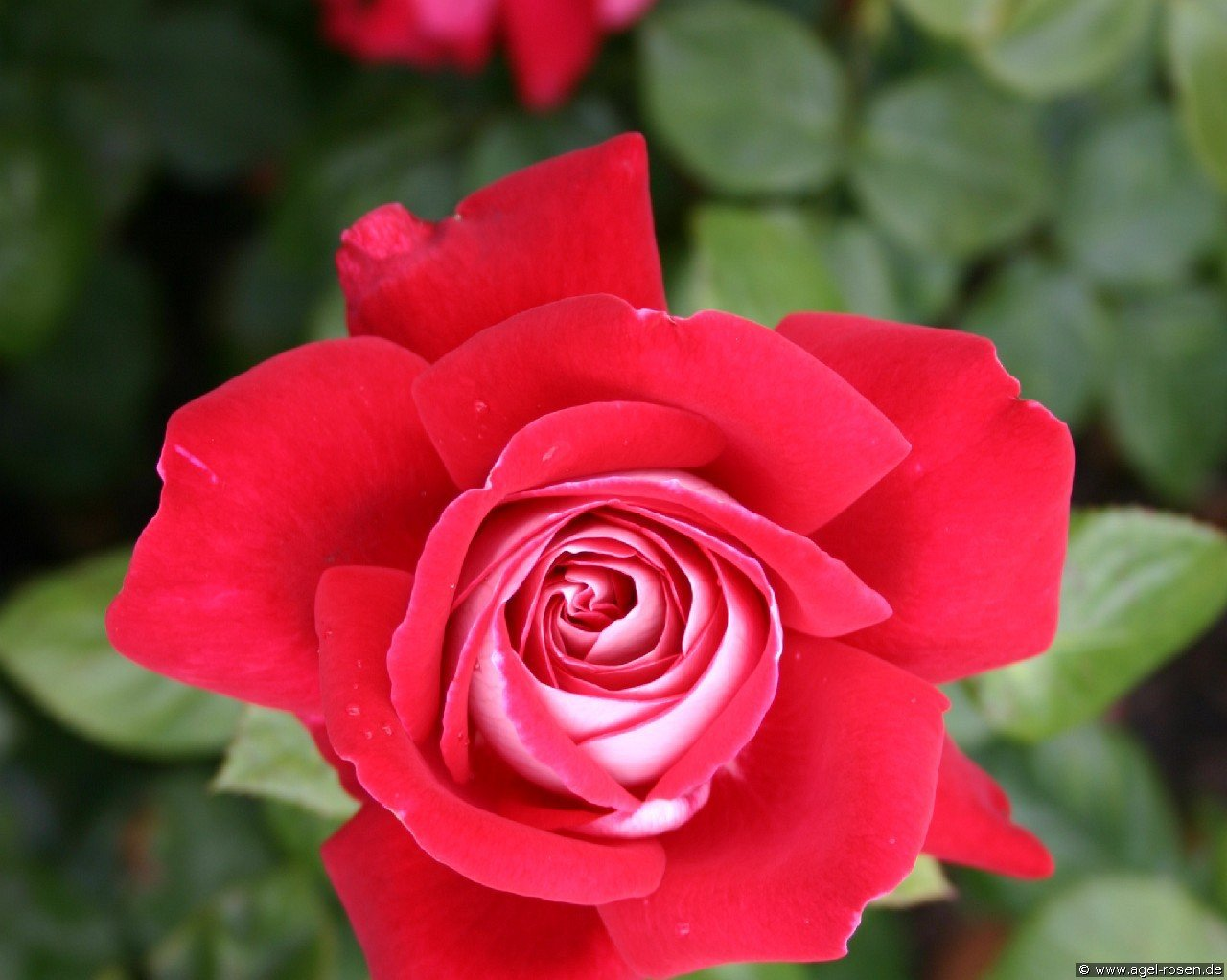 Copacabana (Hybrid Tea)