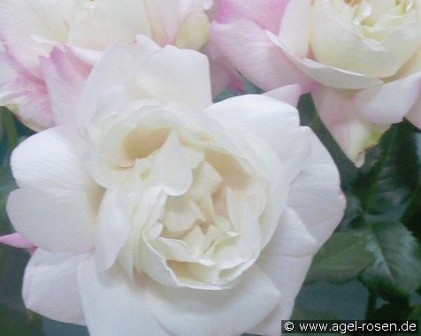 Crown Princess Mary (Hybrid Tea)
