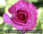 Derby Hagen Gmelin Rose (Hybrid Tea)