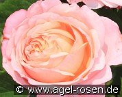 Domaine de Chantilly (Hybrid Tea)