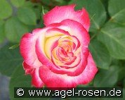 Double Delight (Hybrid Tea)