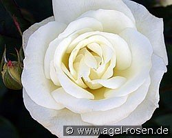 Evening Star (Hybrid Tea)