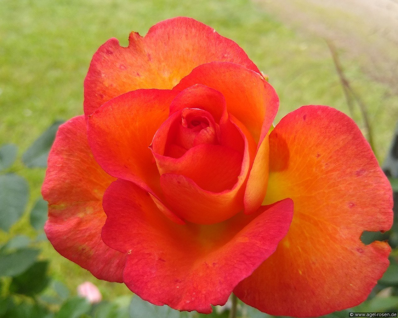 Fairest Cape (Hybrid Tea)