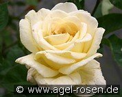 Golden Silk (Hybrid Tea)