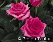 Hanseat (Hybrid Tea)