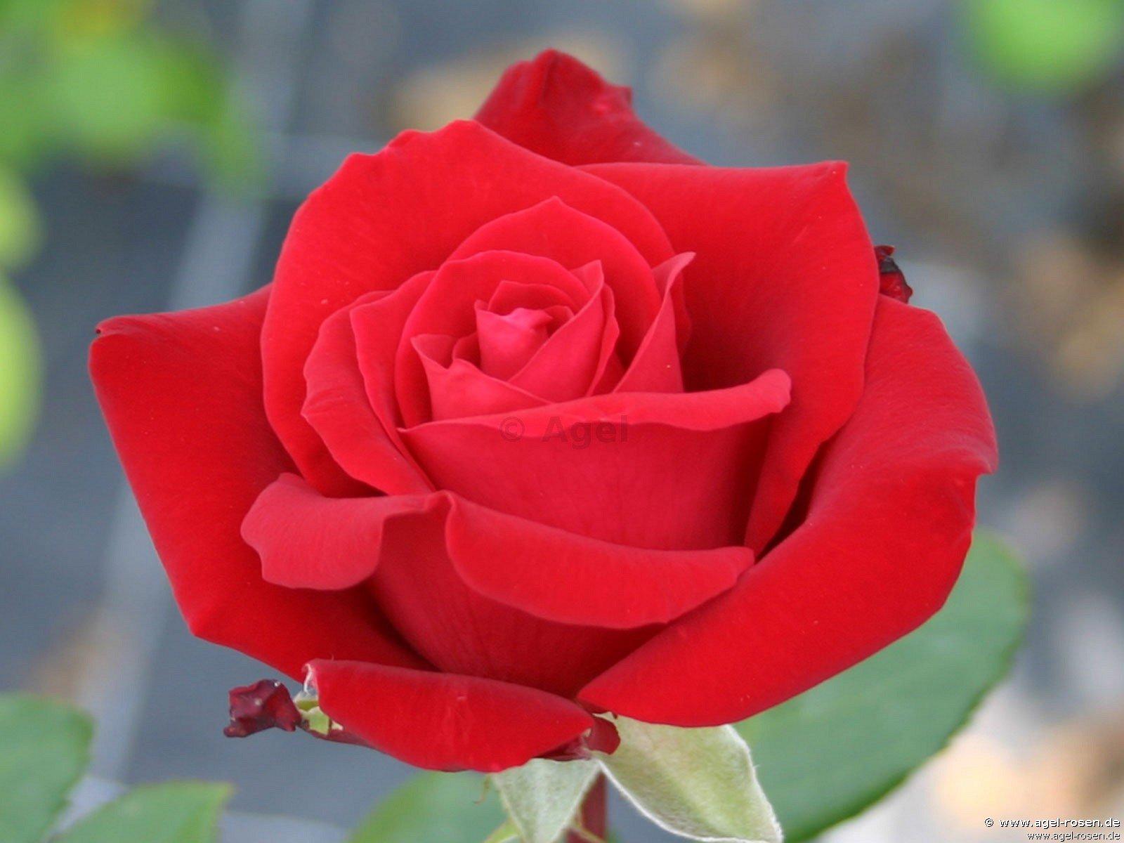 Rosen Herz