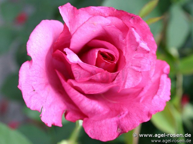 lila wunder hybrid tea buy at agel rosen. Black Bedroom Furniture Sets. Home Design Ideas