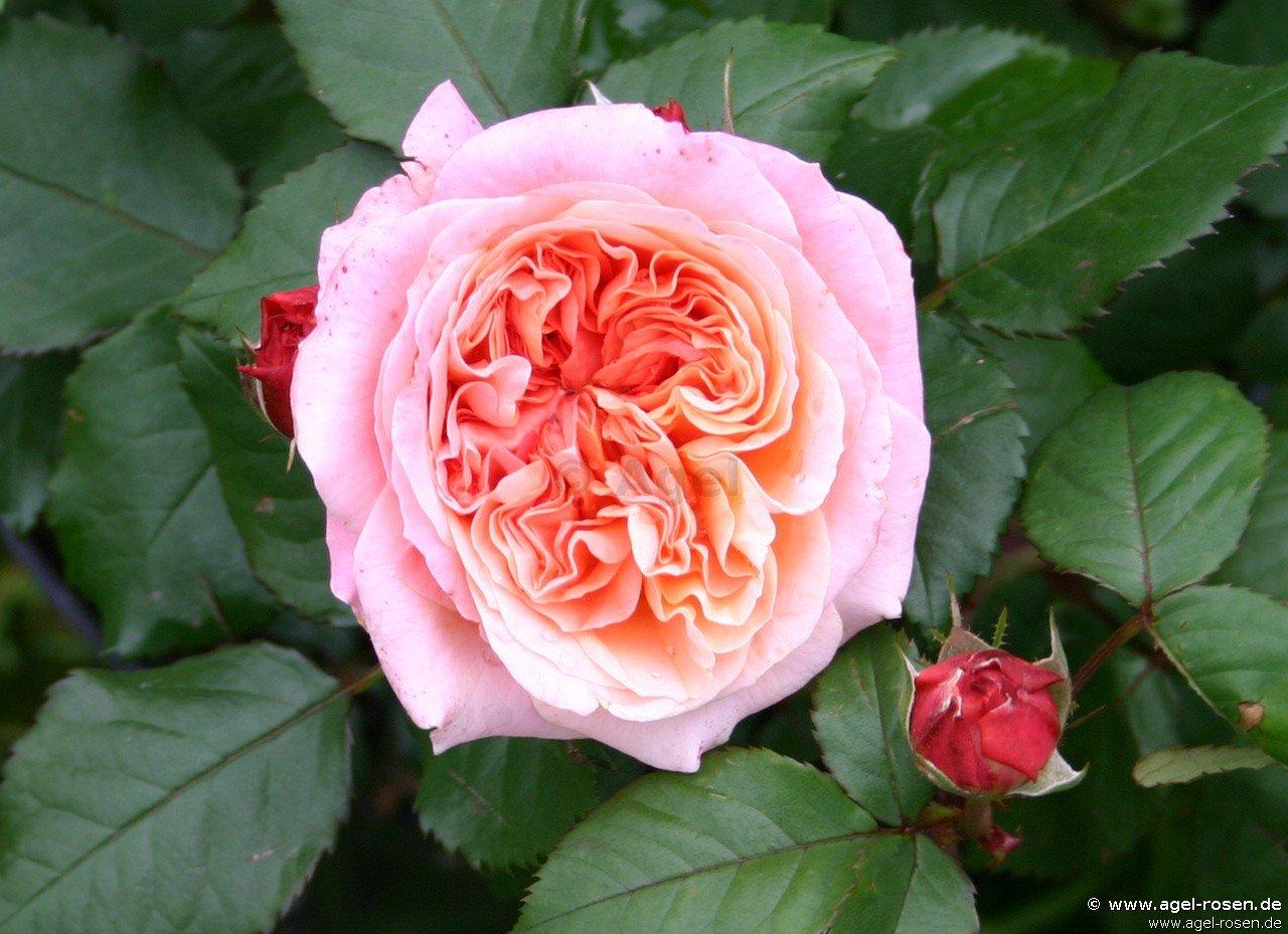 mary ann hybrid tea buy at agel rosen. Black Bedroom Furniture Sets. Home Design Ideas