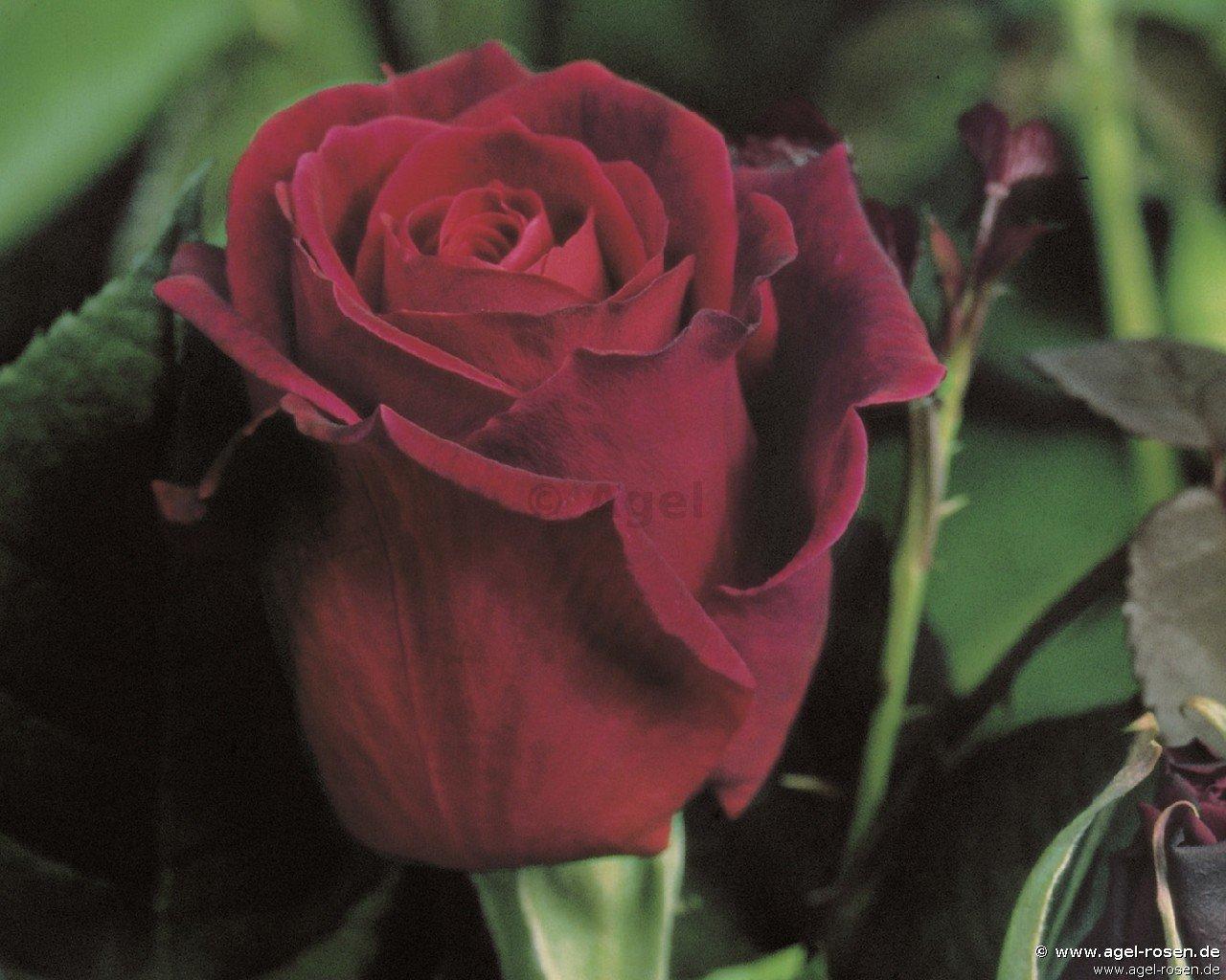 mildred scheel hybrid tea buy at agel rosen. Black Bedroom Furniture Sets. Home Design Ideas