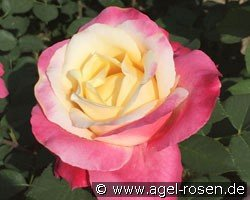 Parfum Tropical (Hybrid Tea)