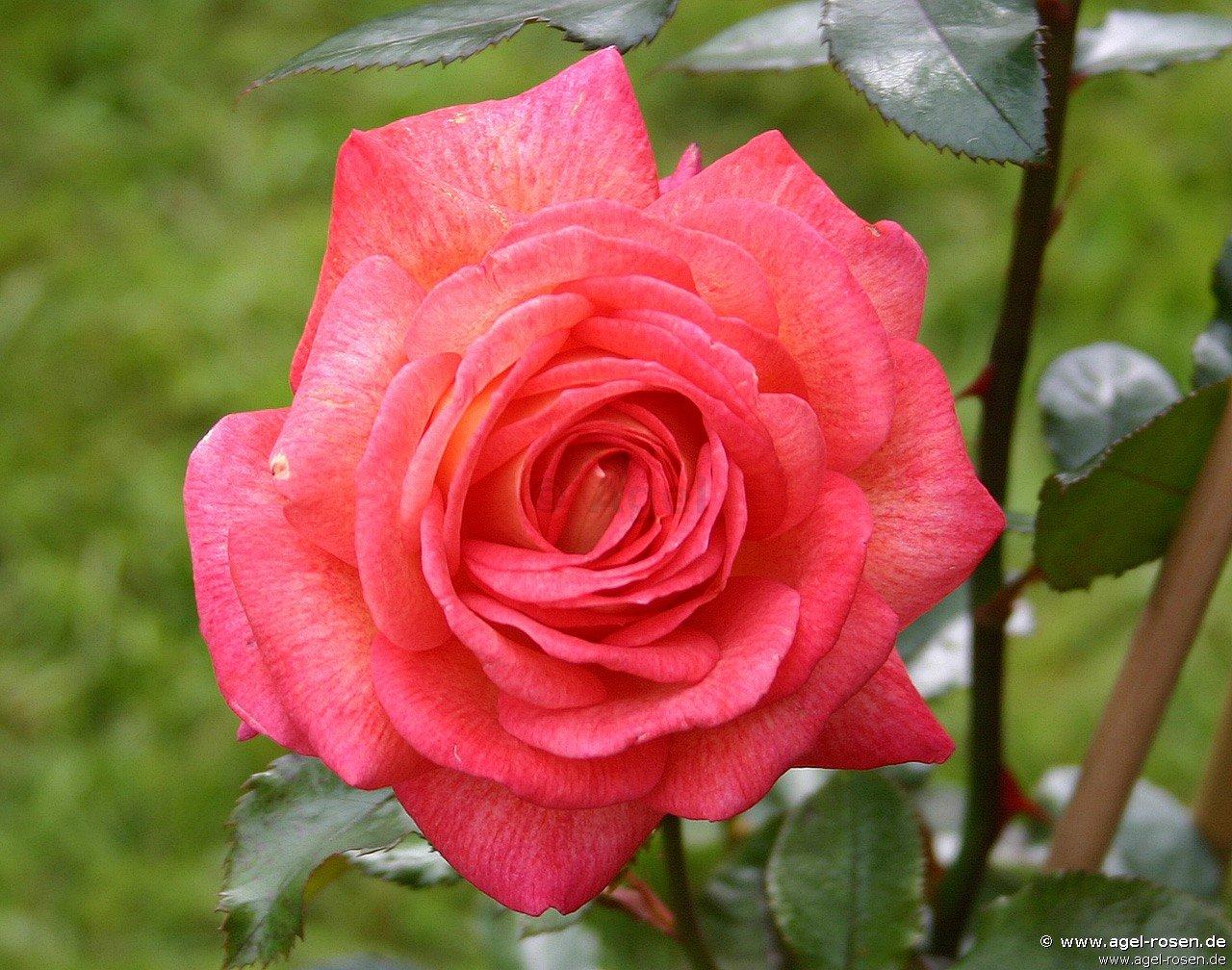 parfum de grasse r hybrid tea buy at agel rosen With katzennetz balkon mit rose garden parfum