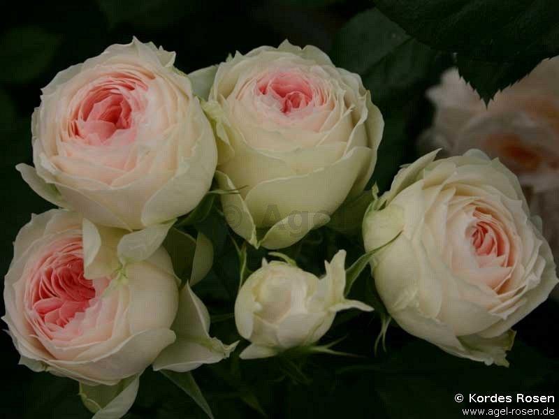 pashmina pompon flower circus hybrid tea buy at agel rosen. Black Bedroom Furniture Sets. Home Design Ideas