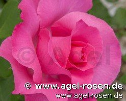 paul mccartney rose hybrid tea buy at agel rosen. Black Bedroom Furniture Sets. Home Design Ideas