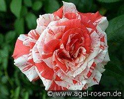 philatelie hybrid tea buy at agel rosen. Black Bedroom Furniture Sets. Home Design Ideas
