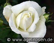 Roy Black (Hybrid Tea)