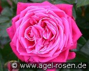 Senteur Royale (Hybrid Tea)