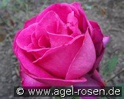 Shella-Kertesz-Rose (Hybrid Tea)