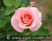 Summer Lady (Hybrid Tea)