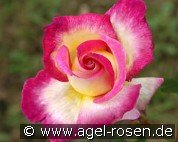 Sweet Delight (Hybrid Tea)