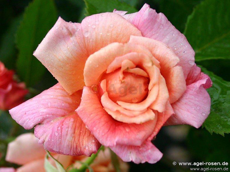 aloha kletterrose kaufen bei agel rosen. Black Bedroom Furniture Sets. Home Design Ideas