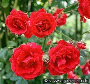 blaze superior kletterrose kaufen bei agel rosen. Black Bedroom Furniture Sets. Home Design Ideas