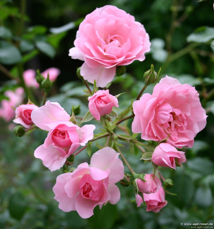 climbing bonica kletterrose kaufen bei agel rosen. Black Bedroom Furniture Sets. Home Design Ideas