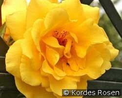 golden gate kletterrose kaufen bei agel rosen. Black Bedroom Furniture Sets. Home Design Ideas