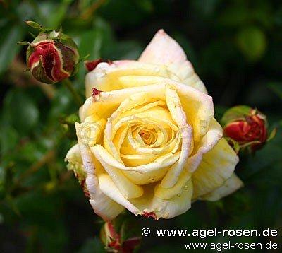 goldfassade kletterrose kaufen bei agel rosen. Black Bedroom Furniture Sets. Home Design Ideas