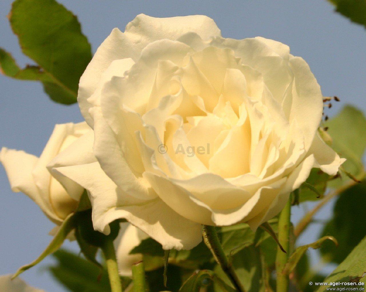Klettergerüste Für Rosen : Vorstellung klettergerüste und rosenbogen page mein schöner