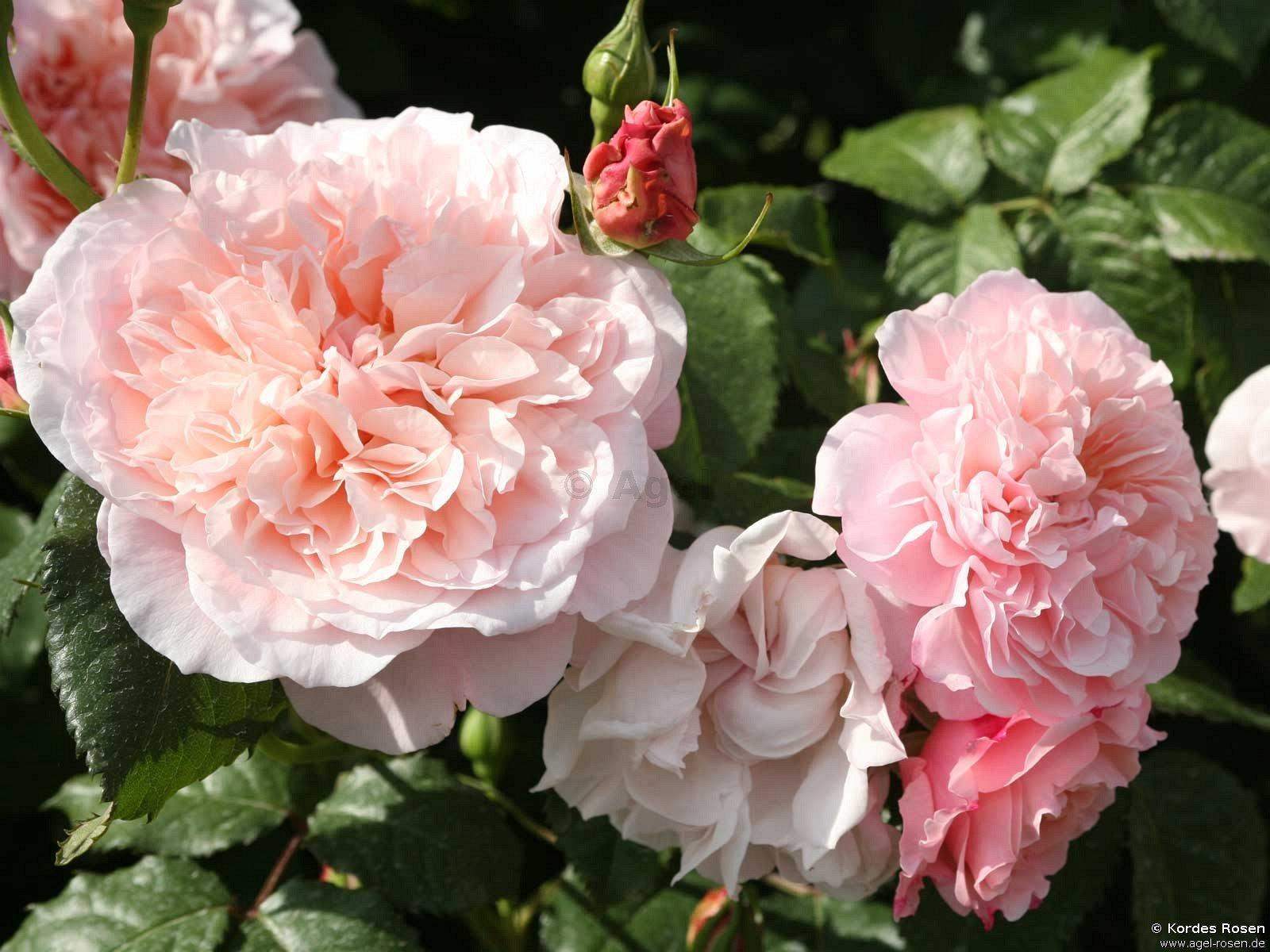 rose de tolbiac kletterrose kaufen bei agel rosen. Black Bedroom Furniture Sets. Home Design Ideas