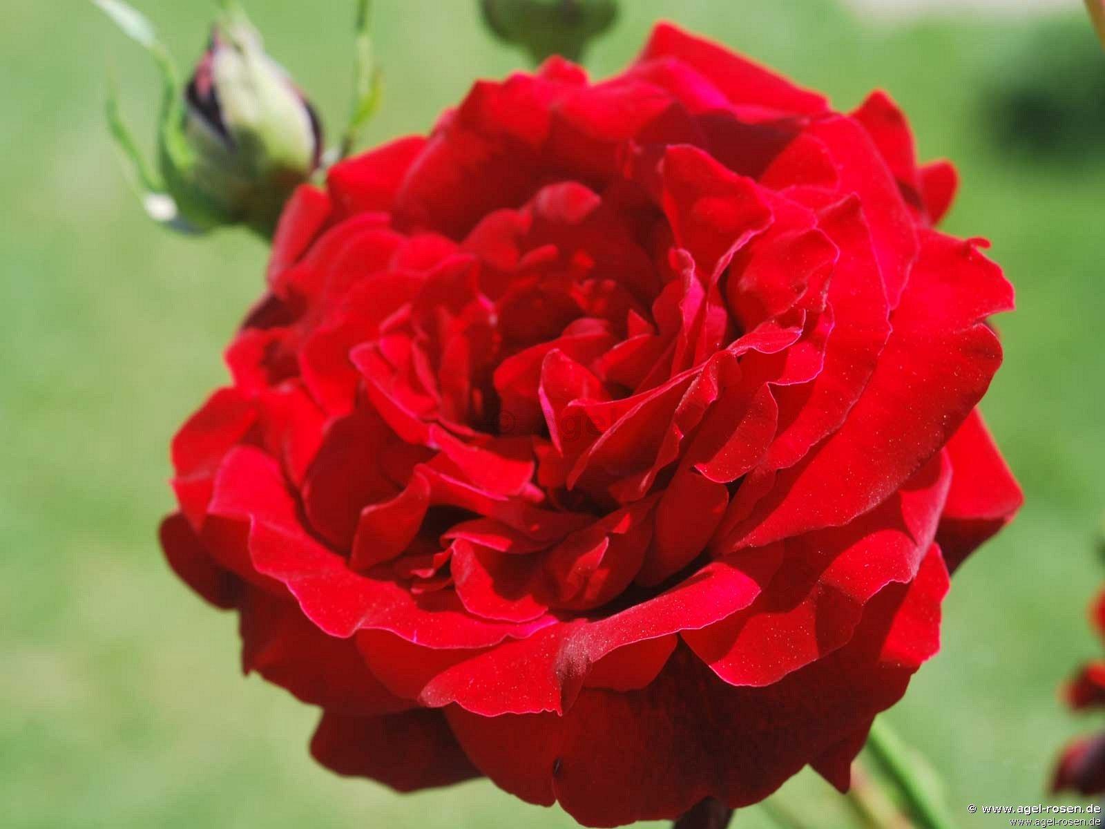 salammbo kletterrose kaufen bei agel rosen. Black Bedroom Furniture Sets. Home Design Ideas