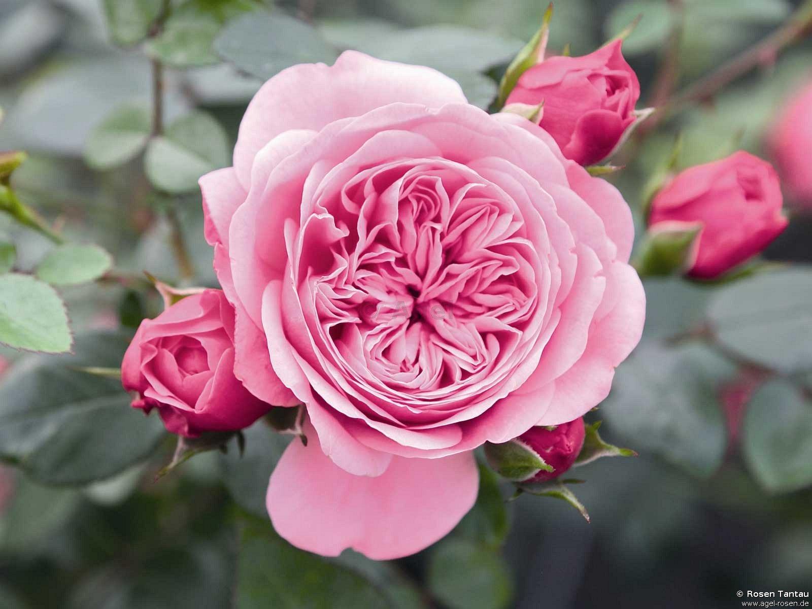 starlet rose eva kletterrose kaufen bei agel rosen. Black Bedroom Furniture Sets. Home Design Ideas