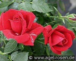 sympathie kletterrose kaufen bei agel rosen. Black Bedroom Furniture Sets. Home Design Ideas