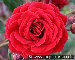 rose that 39 s jazz online kaufen agel rosen 8 liter. Black Bedroom Furniture Sets. Home Design Ideas