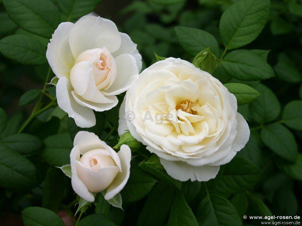 uetersener klosterrose kletterrose kaufen bei agel rosen. Black Bedroom Furniture Sets. Home Design Ideas