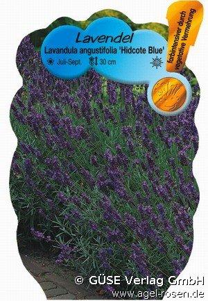echter lavendel bei agel rosen online kaufen lavandula. Black Bedroom Furniture Sets. Home Design Ideas