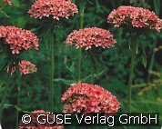 Brennende Liebe (Lychnis chalcedonica 'Rosea')