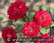 Alberich (Miniature Rose)