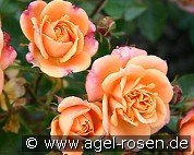 Apricot Clementine (Miniature Rose)