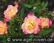 Baby Maskerade (Miniature Rose)