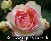 Biedermeier (Miniature Rose)