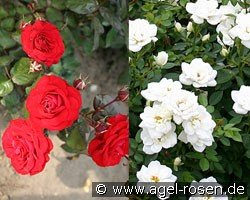Fire & Ice (Miniature Rose)